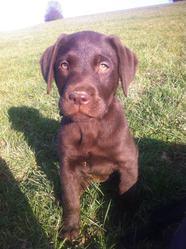 Hana, chien Labrador Retriever
