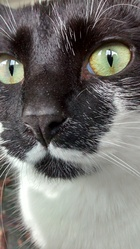 Hanakin, chat Gouttière