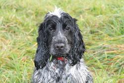Hana, chien Cocker anglais