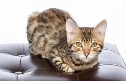 Hanaé, chat Bengal
