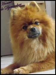 Hanaé, chien Spitz allemand