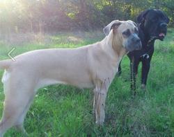 Hanaée, chien Cane Corso