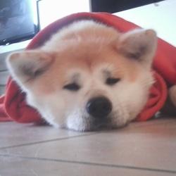 Hanako, chien Akita Inu