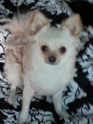 Hanako, chien Spitz japonais