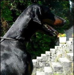 Hancock Harper, chien Dobermann