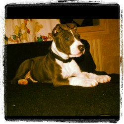 Hancok, chien American Staffordshire Terrier