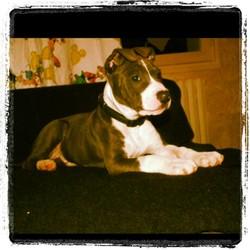 Hancok, chien American Staffordshire Terrier