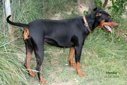 Handie De La Tour De Cruzières, chien Pinscher