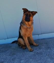 Hando, chien Berger allemand