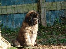 Handsome Boy Barouk, chien Leonberger
