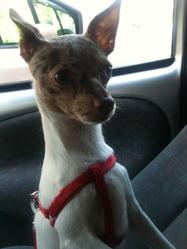 Handy, chien Chihuahua