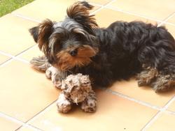 Handy, chien Yorkshire Terrier