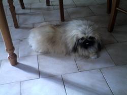 Havane De La Bacska , chien Pékinois