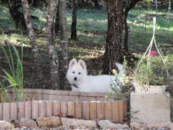 Hangie, chien Berger blanc suisse