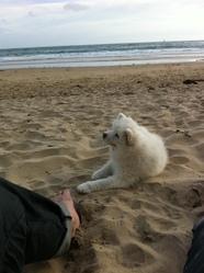 Hangoon, chien Samoyède
