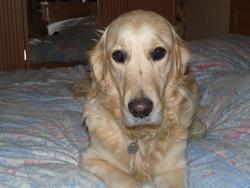 Hania, chien Golden Retriever