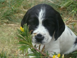 Hanka , chien Springer anglais