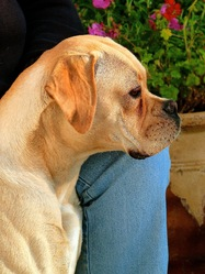 Hanka, chien Boxer