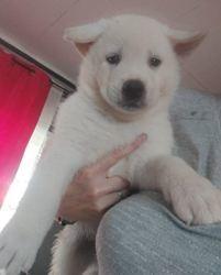 Hanko, chien Shih Tzu
