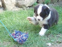 Hanna , chien Berger australien