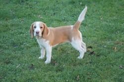 Hanna, chien Beagle