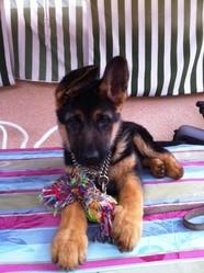 Hanna , chien Berger allemand