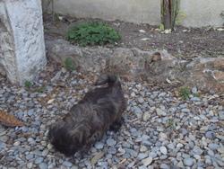 Hanna, chien Shih Tzu