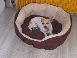 Hannah, chien Chihuahua