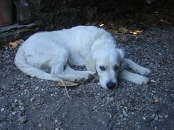Hannah De La Baracine, chien Golden Retriever