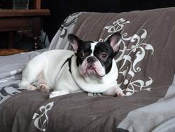 Hannibal, chien Bouledogue français
