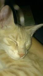 Hannibal, chat Gouttière