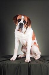 Hannibal, chien Saint-Bernard