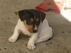 Hadés, chien Jack Russell Terrier