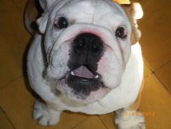 Hannibal, chien Bulldog