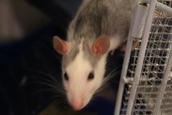 Hannraoi, rongeur Rat