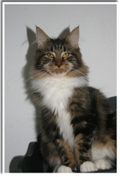 Hannya, chat Maine Coon