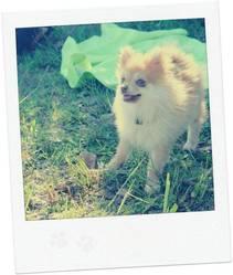 Hanoi, chien Spitz allemand