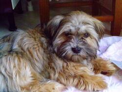 Hanoi, chien Yorkshire Terrier