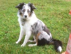 Hanouck, chien Berger australien