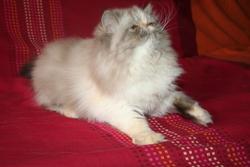 Hanouck, chat Persan
