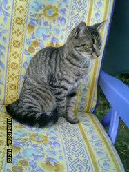 Hanouka, chat Européen