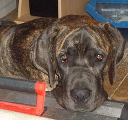 Hanouman, chien Dogue allemand