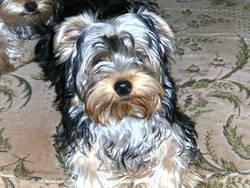 Hansens, chien Yorkshire Terrier