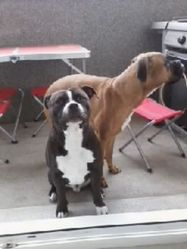 Hanto, chien Staffordshire Bull Terrier