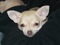 Hanysée, chien Chihuahua