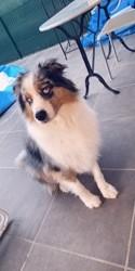 Haori, chien Berger australien