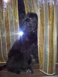 Haoussa, chien Berger des Pyrénées