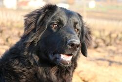 Hapache, chien Hovawart