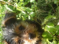Happie, chien Yorkshire Terrier