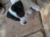 Happle, chien Jack Russell Terrier